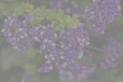 Verblaßter Hintergrund, kleiner purpurroter und weißer Strauch blüht Stockfoto