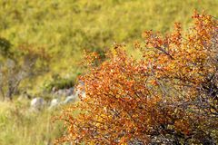 Verblaßter Weißdorn im Herbst Lizenzfreies Stockbild