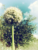 Verblaßtes Foto der Zwiebel-Blume Lizenzfreies Stockbild