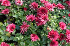Verblassende Blumen von roten Chrysanthemen stockfotos