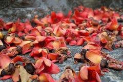 Verblassende rote Blumen des Riesen Lizenzfreie Stockfotos