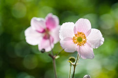 Verbleek - roze bloem Japanse anemoon, close-up Stock Afbeelding