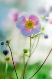 Verbleek - roze bloem Japanse anemoon, close-up Royalty-vrije Stock Foto