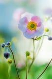 Verbleek - roze bloem Japanse anemoon, close-up Stock Fotografie