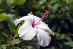 Verbleek - roze hibiscusbloem met heldere roze meeldraad royalty-vrije stock afbeelding