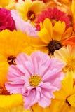 Verbleek - roze kosmosbloem met gele calendulas en rudbeckias stock fotografie