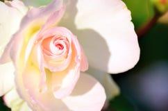 Verbleek - roze rozen. Stock Afbeelding