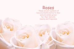 Verbleek - roze rozen. Royalty-vrije Stock Afbeeldingen