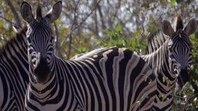 Verblind van Zebras in Kruger stock footage