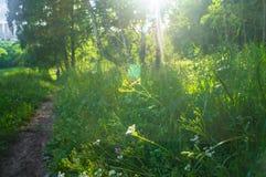 Verblindend stralend zonlicht door vers weelderig groen van de zomerbos royalty-vrije stock foto