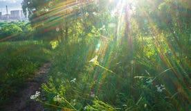 Verblindend stralend zonlicht door vers weelderig groen van de zomerbos stock foto's