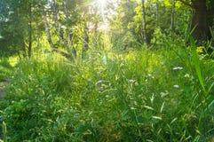 Verblindend stralend zonlicht door vers weelderig groen van de zomerbos royalty-vrije stock afbeelding