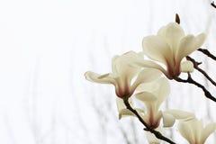 Verblindende magnoliabloem Royalty-vrije Stock Afbeeldingen