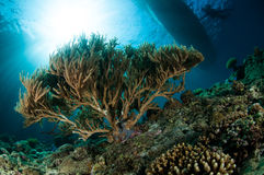 Verbogene Seestange in Gorontalo, Indonesien Stockbilder