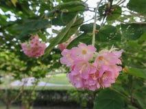 Verbonden Rose Flower-hibiscusmutabilis Royalty-vrije Stock Foto's