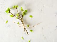 Verbonden takken met knoppen en bladeren op wit De achtergrond van de lente Stock Foto's