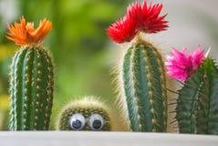 Verborgen grappige cactus Stock Afbeelding