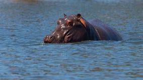 Verborgen hippo Royalty-vrije Stock Afbeelding