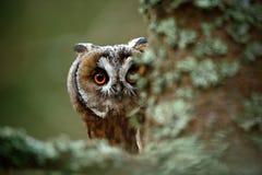 Verborgen portret lang-Eared Uil met grote oranje ogen achter de boomstam van de lariksboom stock afbeelding