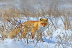 Verborgen Rode Vos, Vulpes vulpes, bij de sneeuwwinter Het wildscène van aard De koude winter met mooie vos Oranje bontjasdier royalty-vrije stock afbeelding