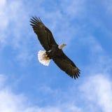 Verbreitete nationaler Vogel-Weißkopfseeadler Vereinigter Staaten mit Flügeln weit Stockbilder