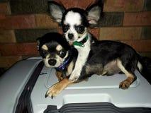 Verbundene Paare Chihuahua lizenzfreie stockfotografie