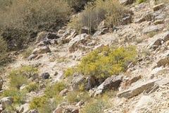 Verbundener Anabasis, der im Wüste Negev blüht stockfoto
