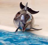 Verchroomde dolfijn Stock Foto's