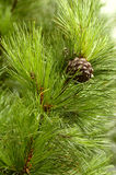 #verctical Pinecones Royalty-vrije Stock Foto