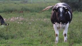 Verdachte koe stock video