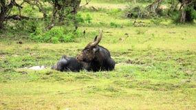 Verdadeiramente os animais selvagens um búfalo de água repousam sobre o pântano da natureza Fotos de Stock