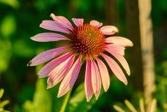 Verdadera flor del purpurea del Echinacea Imagenes de archivo