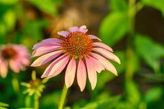 Verdadera flor del purpurea del Echinacea Fotografía de archivo libre de regalías