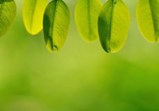 Green leaves. Hung down from their branch. Here I just shot the leaves without branch Royalty Free Stock Photos