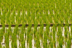 Rice field. The verdancy of rice field ,Thailand royalty free stock photography