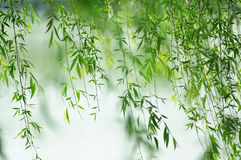 Green willow leaves. Hung down beside a river in spring Stock Photo
