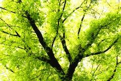 Verdant banyan tree Stock Image