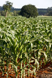Verdant cornfield under glare from sunlight Stock Photos