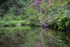 Verdant creek shoreline in Pescadero Creek Park; plants reflected in the water surface Royalty Free Stock Photography