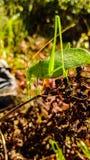 Verdant Grasshopper Στοκ Φωτογραφίες