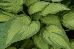 Verdant Green Hosta Leaves After a Rain Royalty Free Stock Images