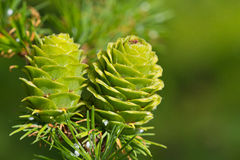 Verdant larch cones in spring. Close-up image of green cones of European larch (Larix europaea) in spring Stock Photos