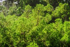 Verdant redwood trees branches, Pescadero Creek County Park, San Francisco bay area, California stock image