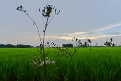 A verdant rice field under a clear sky. Royalty Free Stock Image