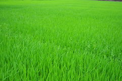 From the verdant rice fields of farmers Royalty Free Stock Photography