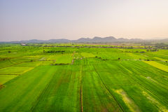 Verdant rice paddies. Soon as the harvest season Royalty Free Stock Image