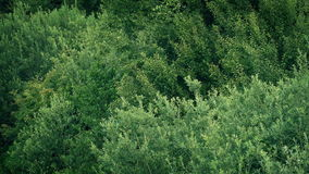 Verdant trees in gentle breeze. Dense trees and bushes sway in gentle summer breeze stock video footage
