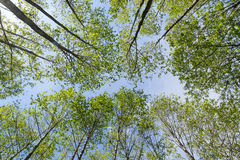 Verdant trees viewed from below Stock Photography