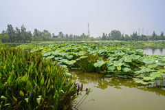 Verdant water plants in lotus pond on summer day Stock Photo