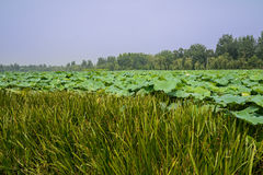 Verdant water plants in lotus pond on sunny day Royalty Free Stock Photo